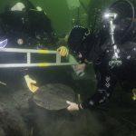 Trätunnan ombord på Gribshunden med delar av den nu undersökta stören. Foto: Brett Seymour